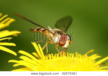 Syrphidae Insects