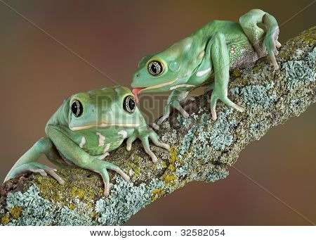 Waxy Tree Frog Love