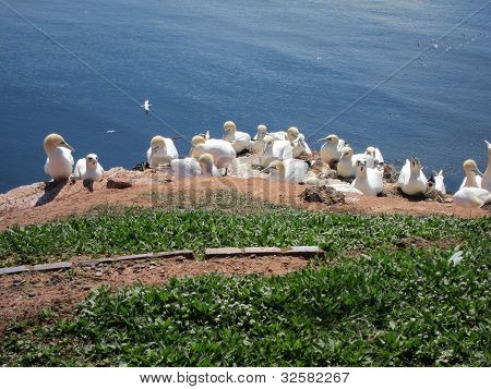 Breeding Sea Birds On The Island Of Helgoland