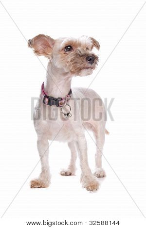 Mixed Breed Shi Tzu