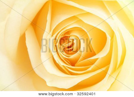 Yellow rose petals,Close up.
