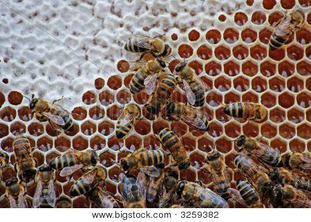 Bees Close Honey.