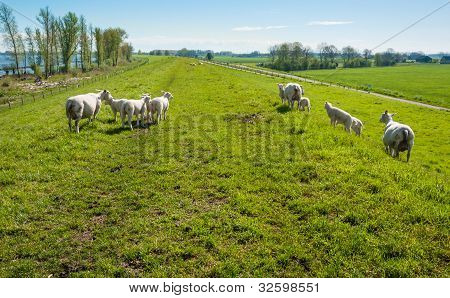 Sheep On A Dutch Dike