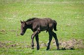 beautiful little brown colt at summer pasture