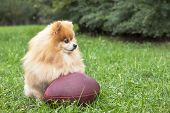 Cute Fluffy Pomeranian Spitz Dog With American Football Ball. Beautiful Funny Puppy Playing Rugby On poster