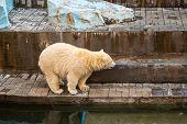 A Large Polar Bear Walks Around Its Paddock At The Zoo. Dangerous Polar Bear At The Zoo poster