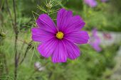 Summer Flowers Pink Cosmos Flowers - In Latin Cosmos Bipinnatus poster
