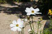 Summer Flowers White Cosmos Flowers - In Latin Cosmos Bipinnatus poster