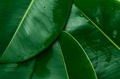 Foliage Nature Greenery Pattern From Big Green Wet Ficus Leaves. Template For Organic Cosmetics Spa  poster