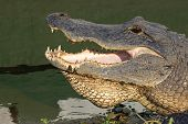 image of gator  - Open mouth of an American alligator  - JPG