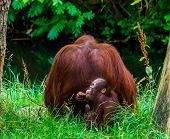 Bornean Orangutan Mother Together With Her Infant, Primate Family Portrait, Critically Endangered An poster