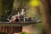 Shaft Tail Finch Birds Poephila Acuticauda In A Bird Bath Bathing Their Wings And Splashing About In poster