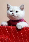 Постер, плакат: Кошка британской породы Редкие окраски серебристые шиншиллы