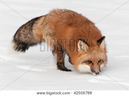 Red Fox (Vulpes vulpes) Runs Through Snow