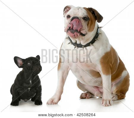 big and small dog - small french bulldog looking up to big english bulldog licking lips wearing spiked collar
