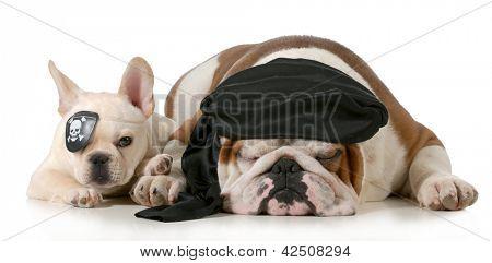 dog pirates - french and english bulldog dressed up like pirates isolated on white background
