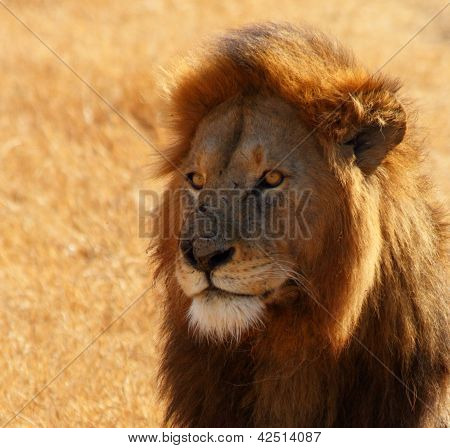 Dazed Male Lion Head Shot