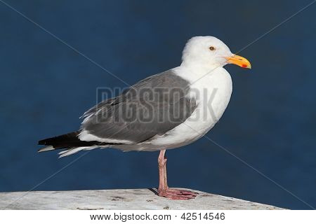 Western Gull (larus Occidentalis) By The Ocean