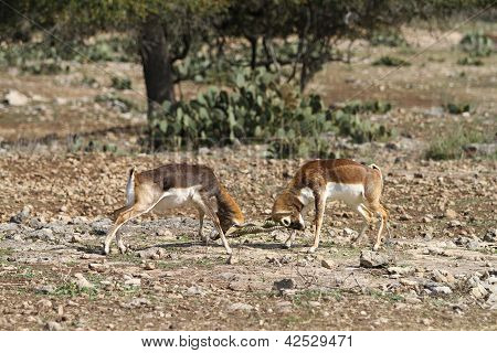 Blackbuck Battle