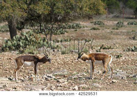 Blackbuck Standoff