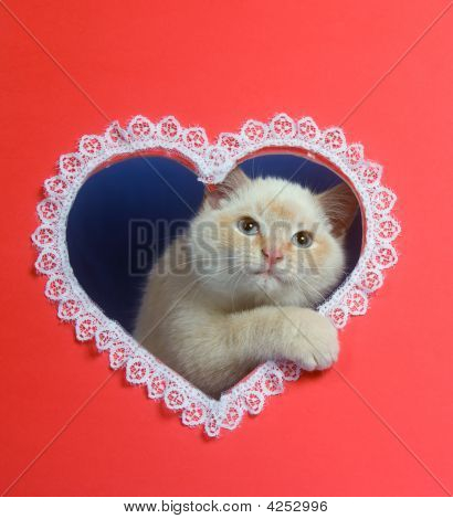 White Valentine Kitten With Copy Space