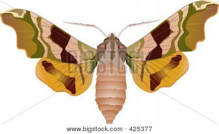 Lime Hawk - Moth