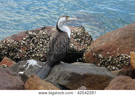 Australian Pied Cormorant In Port Stephens, Nsw