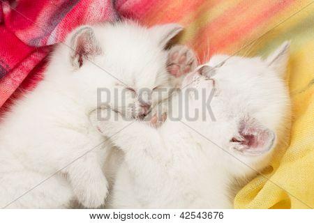 Two sleeping british baby kitten