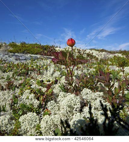 Cloudberries.(rubus Chamaemorus.)