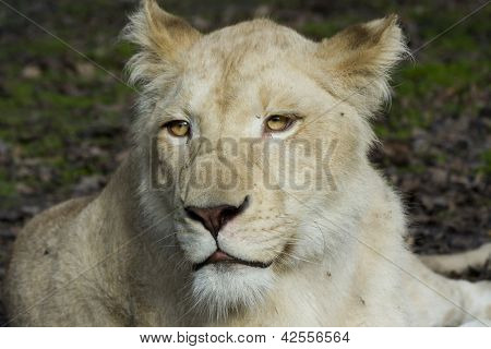 White lioness face