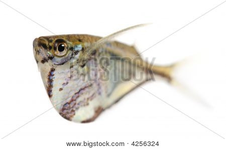 Common Hatchetfish - Gasteropelecus Sternicla