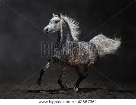 Gray arabian mare gallops on dark background