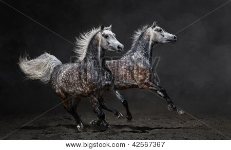 Two gray arabian mares gallop on dark background