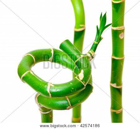 Planta de bambu sorte (dracaena Sanderiana)