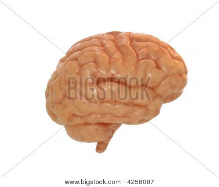 Brain Side View