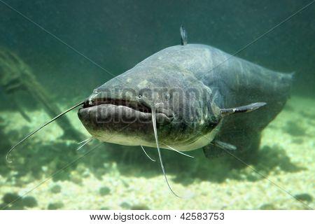 Underwater photo of The Catfish (Silurus Glanis). Close up with shallow DOF.