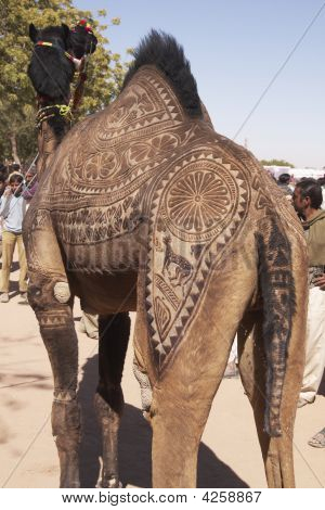 Prize Camel