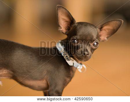 Cute black chihuahua dog