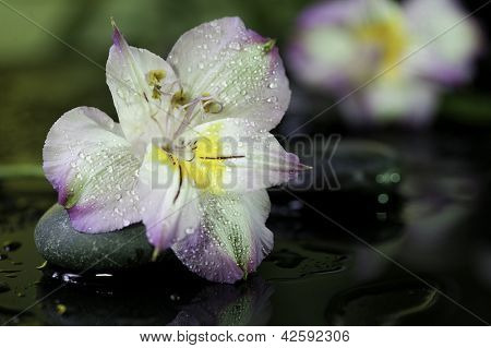 flower on wet black background with stones