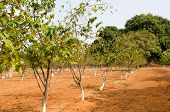 image of rashtrapati  - Rows of sugar apple trees growing in the grounds of Rashtrapati Nilayam - JPG