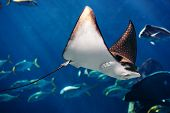 stock photo of manta ray  - Manta ray floating underwater among other fish - JPG