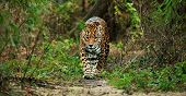 stock photo of ocelot  - Jaguar walking in the jungle - JPG