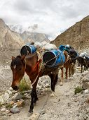 picture of karakoram  - Pack Horses in the Karakorum Mountains Pakistan - JPG