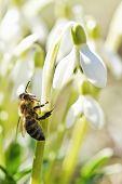 Постер, плакат: Рабочая пчела на Подснежник крупным планом