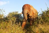 image of encounter  - Close encounter with an elephant plastered with red mud in the Addo Elephant National Park - JPG