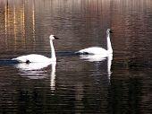 image of trumpeter swan  - Trumpeter Swans - JPG