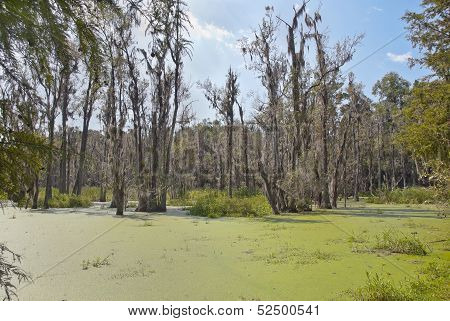 MG Cypress Swamp
