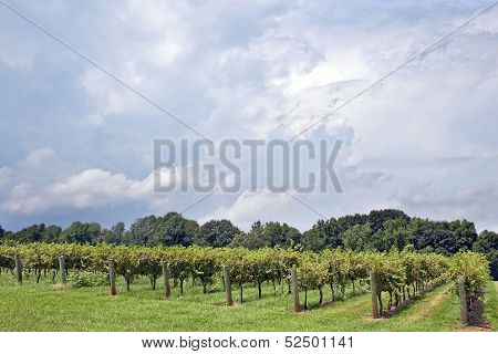 North Carolina Vineyard