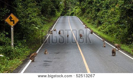 Macaques on a road