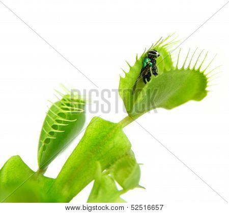 Carnivorous plant. Flytrap ( Dionaea muscipula )